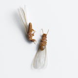 Άσπρο μυρμήγκι τερμιτών νεκρό Στοκ Φωτογραφίες