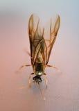 Άσπρο μυρμήγκι τερμιτών Στοκ Φωτογραφίες