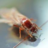 Άσπρο μυρμήγκι τερμιτών Στοκ Εικόνα