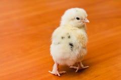 Άσπρο νεογέννητο κοτόπουλο με τα μαύρα φτερά στην πλάτη σε μια ξύλινη επιφάνεια στοκ εικόνες