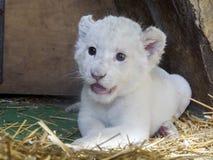 Άσπρο νοτιοαφρικανικό cub λιονταριών Στοκ Εικόνα