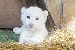 Άσπρο νοτιοαφρικανικό cub λιονταριών Στοκ Εικόνες