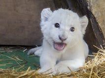 Άσπρο νοτιοαφρικανικό cub λιονταριών Στοκ Φωτογραφία