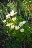 Άσπρο ξύλινο nemorosa Anemone λουλουδιών anemones Στοκ φωτογραφία με δικαίωμα ελεύθερης χρήσης