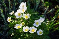 Άσπρο ξύλινο nemorosa Anemone λουλουδιών anemones Στοκ εικόνα με δικαίωμα ελεύθερης χρήσης