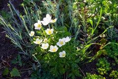 Άσπρο ξύλινο nemorosa Anemone λουλουδιών anemones Στοκ Εικόνες