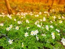 Άσπρο ξύλο anemones Στοκ φωτογραφία με δικαίωμα ελεύθερης χρήσης