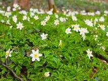 Άσπρο ξύλο anemones Στοκ εικόνα με δικαίωμα ελεύθερης χρήσης