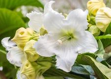 Άσπρο λουλούδι, άμπελος κρίνων Πάσχας Στοκ Φωτογραφίες