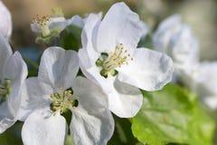 Άσπρο λουλούδι δέντρων της Apple λεπτομερώς Στοκ φωτογραφία με δικαίωμα ελεύθερης χρήσης