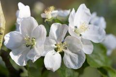 Άσπρο λουλούδι δέντρων της Apple λεπτομερώς Στοκ εικόνα με δικαίωμα ελεύθερης χρήσης
