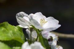 Άσπρο λουλούδι δέντρων της Apple λεπτομερώς Στοκ Εικόνες