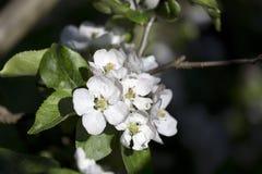 Άσπρο λουλούδι δέντρων της Apple λεπτομερώς Στοκ Φωτογραφίες