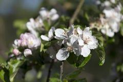Άσπρο λουλούδι δέντρων της Apple λεπτομερώς Στοκ Εικόνα