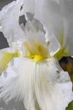 Άσπρο λουλούδι ίριδων σε έναν κήπο καθολικός Ιστός προτύπων σελίδων ίριδων χαιρετισμού λουλουδιών καρτών ανασκόπησης Στοκ Εικόνες
