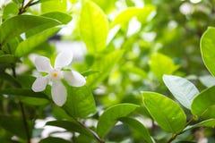 Άσπρο λουλούδι αμπέλων της Jasmine με το φως το πρωί Στοκ Εικόνες