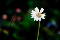 Άσπρο λουλούδι από την οικογένεια μαργαριτών - jamesonii Asteraceae Gerbera hy Στοκ Εικόνες