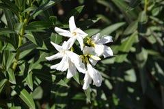Άσπρο λουλούδι ερήμων Στοκ Εικόνες