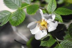 Άσπρο λουλούδι και πράσινη σύνθεση φύλλων Στοκ εικόνες με δικαίωμα ελεύθερης χρήσης