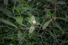 Άσπρο λουλούδι και πτώσεις της δροσιάς πρωινού Στοκ Εικόνες