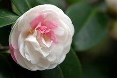 Άσπρο λουλούδι καμελιών Στοκ Φωτογραφία