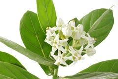 Άσπρο λουλούδι κορωνών Στοκ Εικόνα