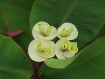 Άσπρο λουλούδι - κορώνα των αγκαθιών, αγκάθι Χριστού Στοκ Εικόνα