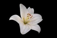 Άσπρο λουλούδι κρίνων στο μαύρο υπόβαθρο Στοκ εικόνες με δικαίωμα ελεύθερης χρήσης