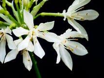Άσπρο λουλούδι κρίνων του Μπρίσμπαν που απομονώνεται Στοκ εικόνα με δικαίωμα ελεύθερης χρήσης
