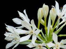 Άσπρο λουλούδι κρίνων του Μπρίσμπαν που απομονώνεται Στοκ Φωτογραφία