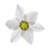 Άσπρο λουλούδι κρίνων Στοκ Εικόνες
