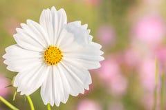 Άσπρο λουλούδι, κόσμος Στοκ Φωτογραφίες