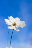 Άσπρο λουλούδι κόσμου στο μπλε ουρανό Στοκ Φωτογραφίες