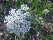 Άσπρο λουλούδι με τα ladybugs Στοκ Φωτογραφία