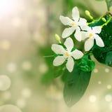 Όμορφα άσπρα λουλούδια κινηματογραφήσεων σε πρώτο πλάνο Στοκ εικόνα με δικαίωμα ελεύθερης χρήσης