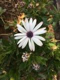 Άσπρο λουλούδι με το πορφυρό κέντρο Στοκ εικόνα με δικαίωμα ελεύθερης χρήσης
