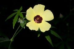 Άσπρο λουλούδι, λουλούδι μιας ώρας ή ketmia κύστεων, hibiscus στον κήπο, Στοκ φωτογραφία με δικαίωμα ελεύθερης χρήσης