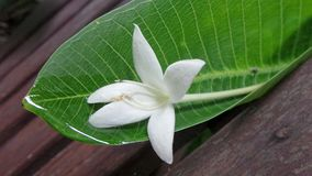 Άσπρο λουλούδι που αφορά το υγρό πράσινο φύλλο στον ξύλινο πάγκο κήπων μετά από τη βροχή Στοκ εικόνες με δικαίωμα ελεύθερης χρήσης