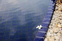 Άσπρο λουλούδι που επιπλέει στην πισίνα στοκ εικόνες