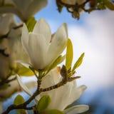 Άσπρο λουλούδι σε ένα δέντρο στοκ εικόνες