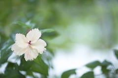 Άσπρο λουλούδι σε ένα θολωμένο πράσινο υπόβαθρο Στοκ Εικόνα