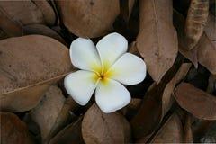 Άσπρο λουλούδι στα ξηρά φύλλα στοκ εικόνες