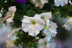 Άσπρο λουλούδι στην πόλη Στοκ εικόνες με δικαίωμα ελεύθερης χρήσης