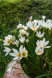 Άσπρο λουλούδι στον κήπο Στοκ εικόνες με δικαίωμα ελεύθερης χρήσης