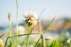 Άσπρο λουλούδι στον πράσινο τομέα Στοκ Εικόνες