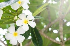 Άσπρο λουλούδι στο δέντρο Στοκ φωτογραφίες με δικαίωμα ελεύθερης χρήσης