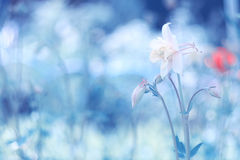 Άσπρο λουλούδι στο μπλε υπόβαθρο με το διάστημα για το κείμενο Όμορφο Aquilegia Στοκ φωτογραφίες με δικαίωμα ελεύθερης χρήσης