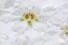 Άσπρο λουλούδι στο νερό Μακροεντολή λεπτομέρειες Πουλί-κεράσι Στοκ φωτογραφίες με δικαίωμα ελεύθερης χρήσης