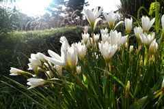 Άσπρο λουλούδι στο φως ήλιων πρωινού κήπων στοκ εικόνες