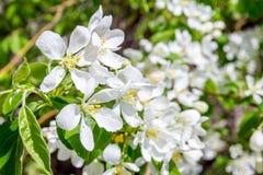Άσπρο λουλούδι την άνοιξη στοκ εικόνα με δικαίωμα ελεύθερης χρήσης